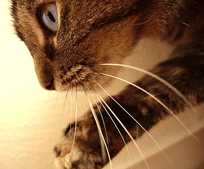 400px-Cats_whiskers