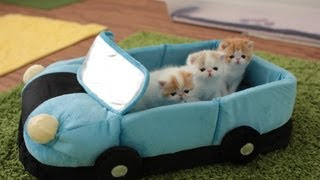 Cute Kittens Going on a Car Ride